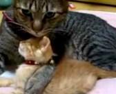 新入り子猫が可愛くて仕方ない兄猫。激しいハグに最初は抵抗していた子猫ちゃんでしたが、次第に変化が ( *´艸`)♡