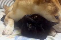 猫好きの柴犬