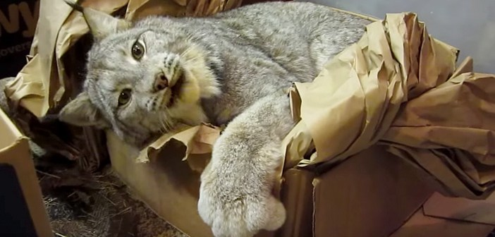 身体が大きくてもやっぱり猫さん♪ 箱で楽しむオオヤマネコがとっても可愛かった ( *´艸`)♡