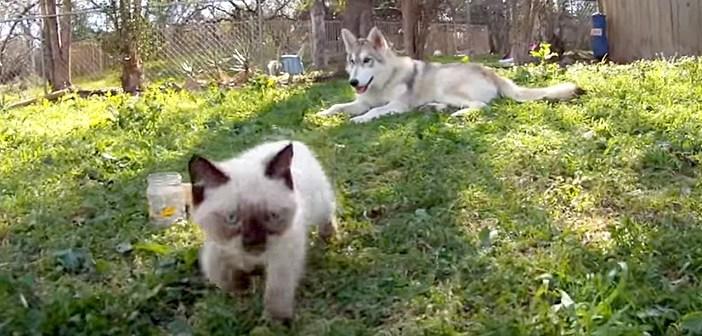 「そっちに行くと危ないわよ」子猫を心配するハスキー犬のお母さん。子猫が遠くの方まで行くと、優しい行動に出た♡