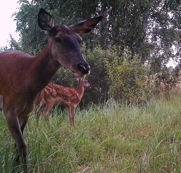 A deer with a cub.