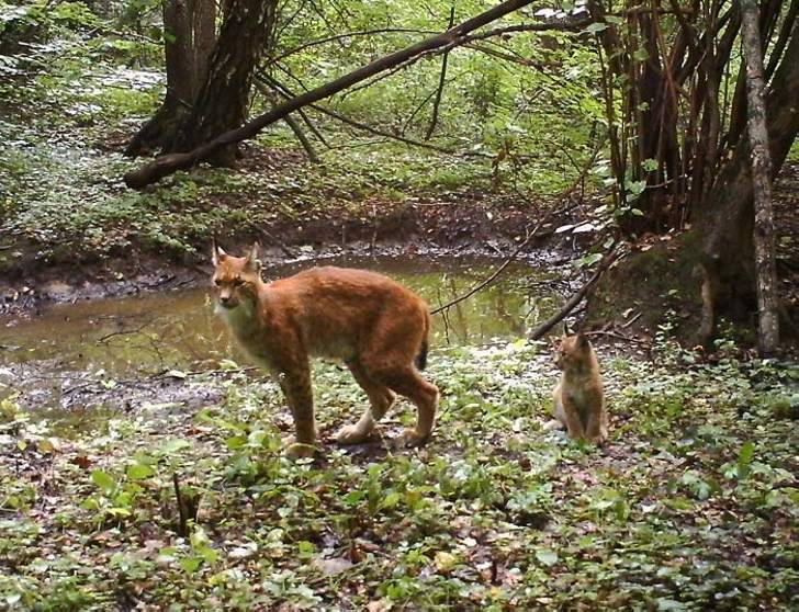 Female lynx and a kitten came to watering-place.