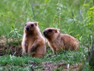 "The steppe marmots, ""Ukrainian groundhogs"", in Striltsivskyi Steppe. Credit: zapovednik.lg.ua"