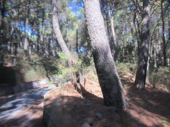Pine Trees on Vesuvius