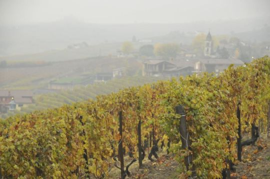 The grapes of the Piedmont