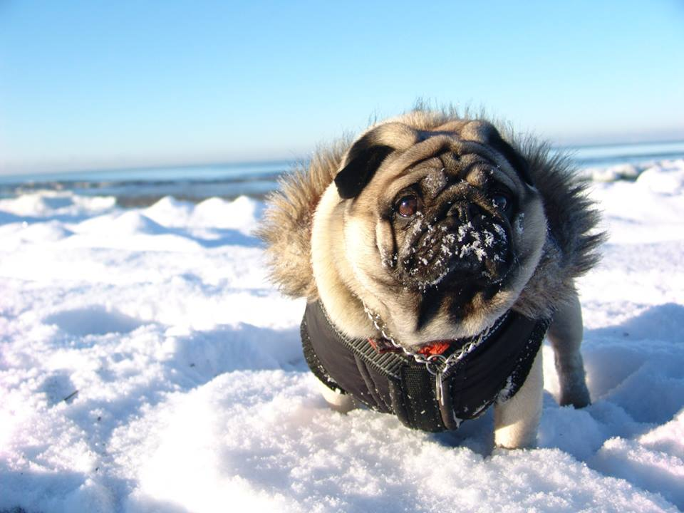 Beach Hotel La Pug On The Winter Snow Beach — Gifts For Pug Lovers