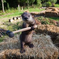 An otter with a hammer