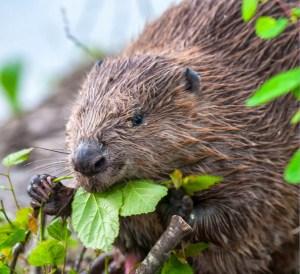 European-beaver_01