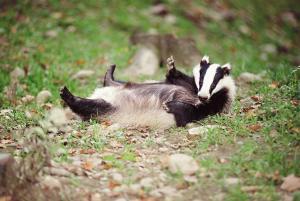 Eurasian Badger Relaxing