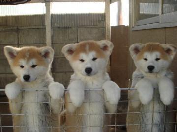 カッコいい,可愛い,日本犬,画像,まとめ088