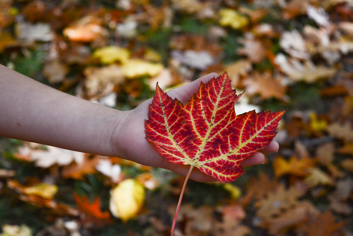 marking-maples-1178
