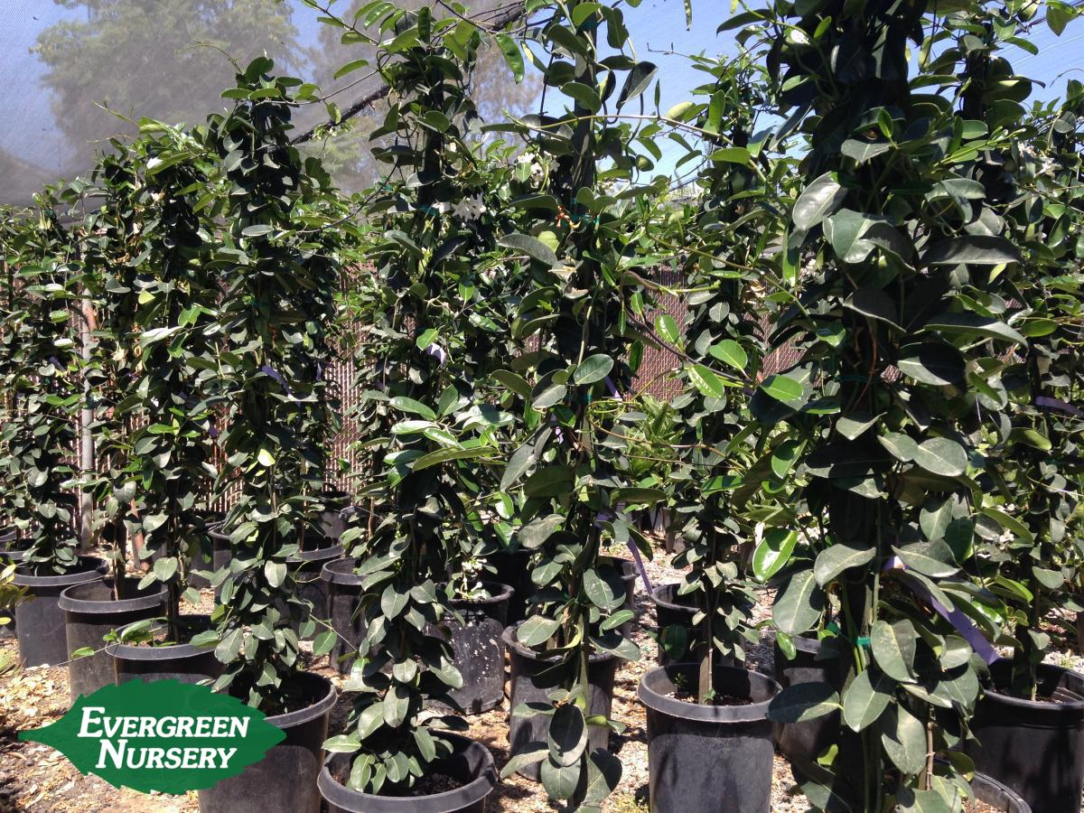 Pool Aus Container Plant Of The Month - Stephanotis Floribunda | Evergreen