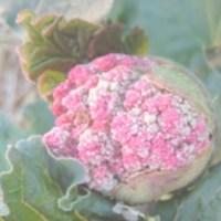 When Rhubarb Flowers
