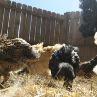 Backyard Chickens 101 - Questions to Ask Yourself Before Jumping In!