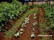 kebun organik 4