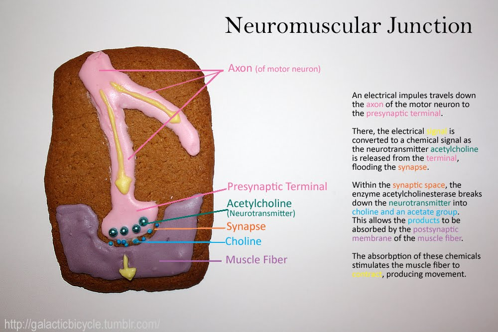 Neuromuscular Junction \u2013 Eat Your Heart Out - neuromuscular junction
