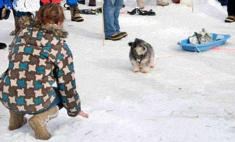 Small dog pull miniature sled
