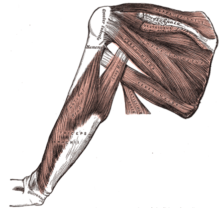 Anatomical image of the shoulder