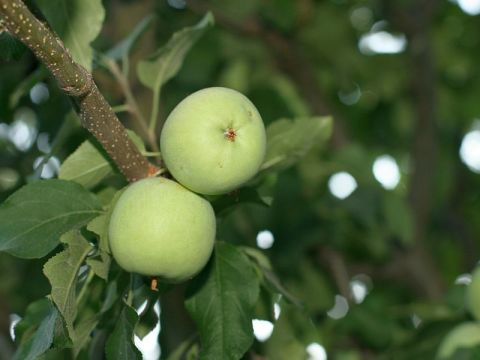 Wild apples on apple tree.