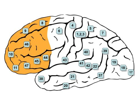 prefrontal cortex of the brain