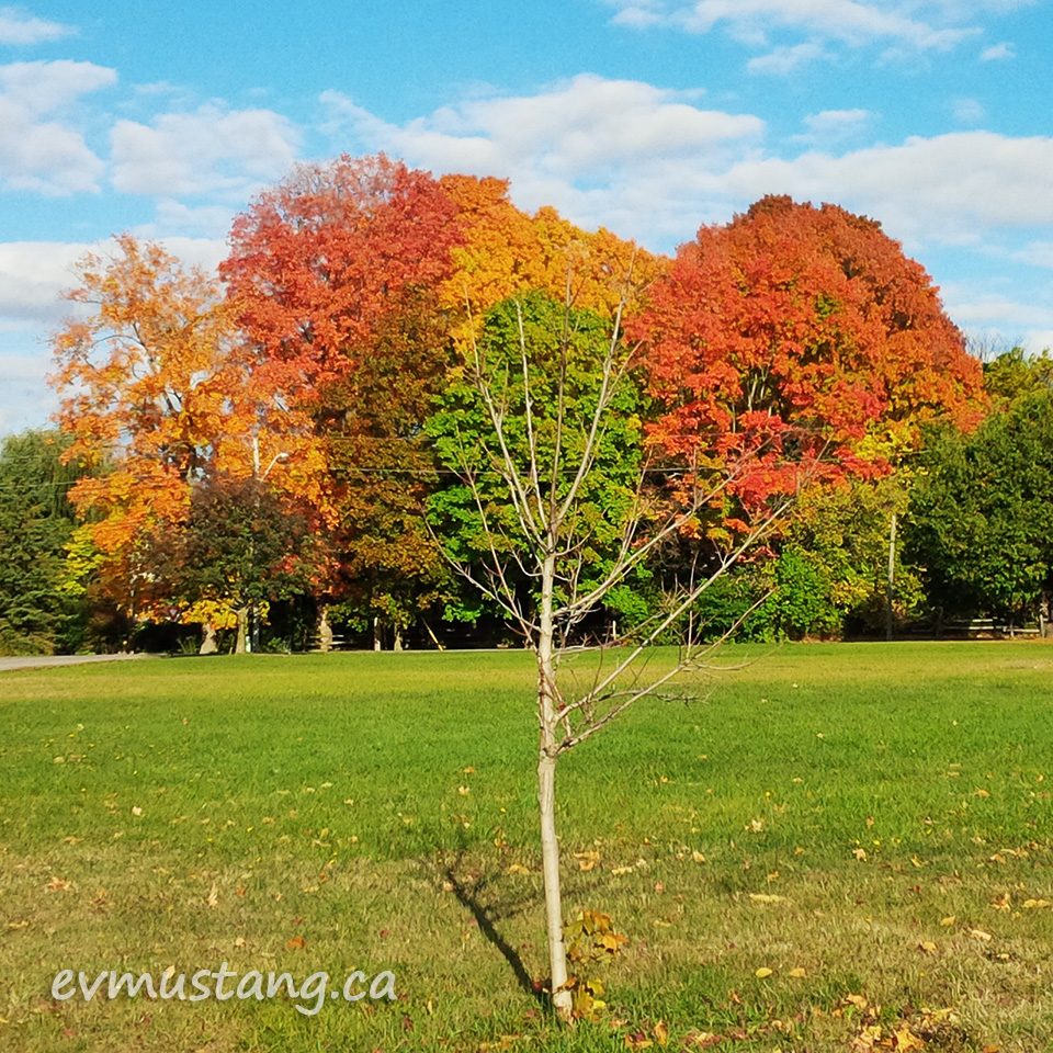 image of a small, leafless, fall tree with large colourfull fall leaved trees behind