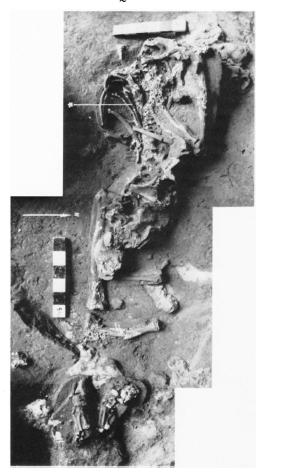 Shanidar 1 discovery