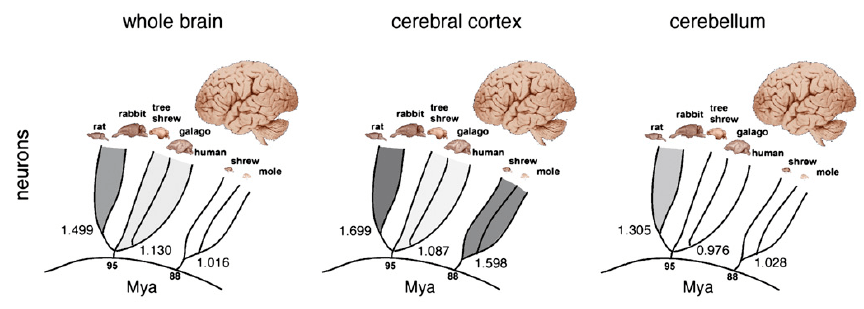 relationship between the size of brain and intelligence