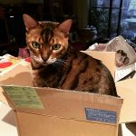 I got a #Poophat but #PudgeBucket got this #totallyawesome #box to play with.  #catsofinstagram #bengalsofinstagram #bengalcat #bengal