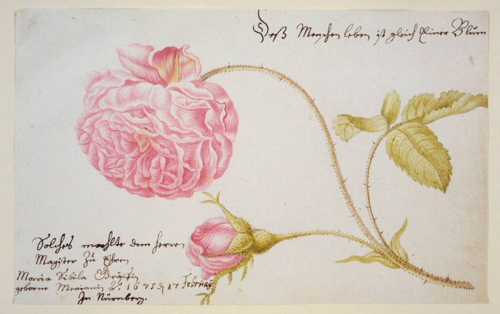 Artwork of the Day: Maria Sibylla Merian