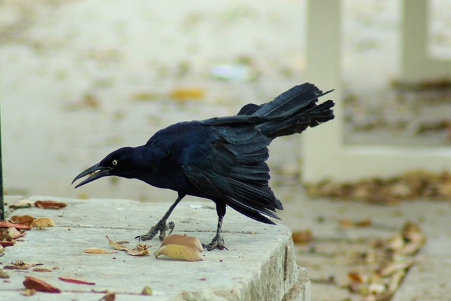 Grackle, Fair Park, Dallas, Texas, March 18, 2007