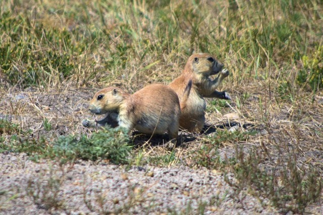 Roberts Prairie Dog Town, Badlands National Park, South Dakota, August 11, 2014
