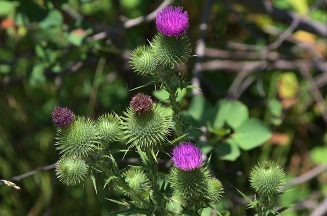 Wild flowers at Upper Mesa Falls, Henry's Fork of the Snake River, near Ashton, Idaho,  August 16, 2014