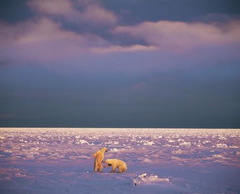 Polar bears (Photo: Paul Nicklen)
