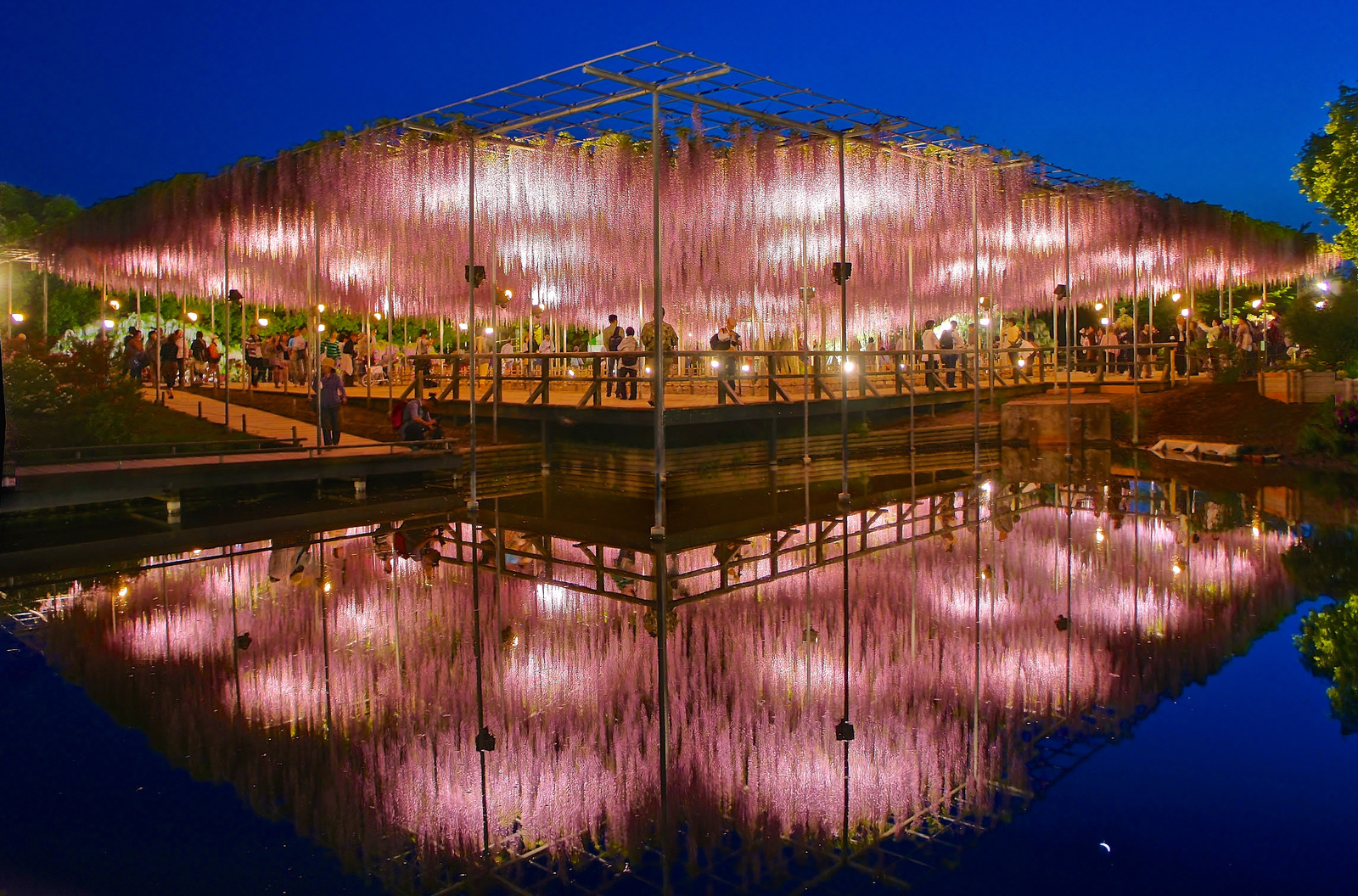 Fusion of Culture and Nature : Wisteria blossoms at Ashikaga Flower Park