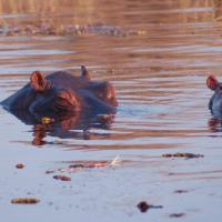 Botswana: By the Hippo Pool in Moremi