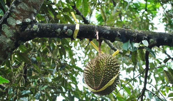 Durian matang pohon