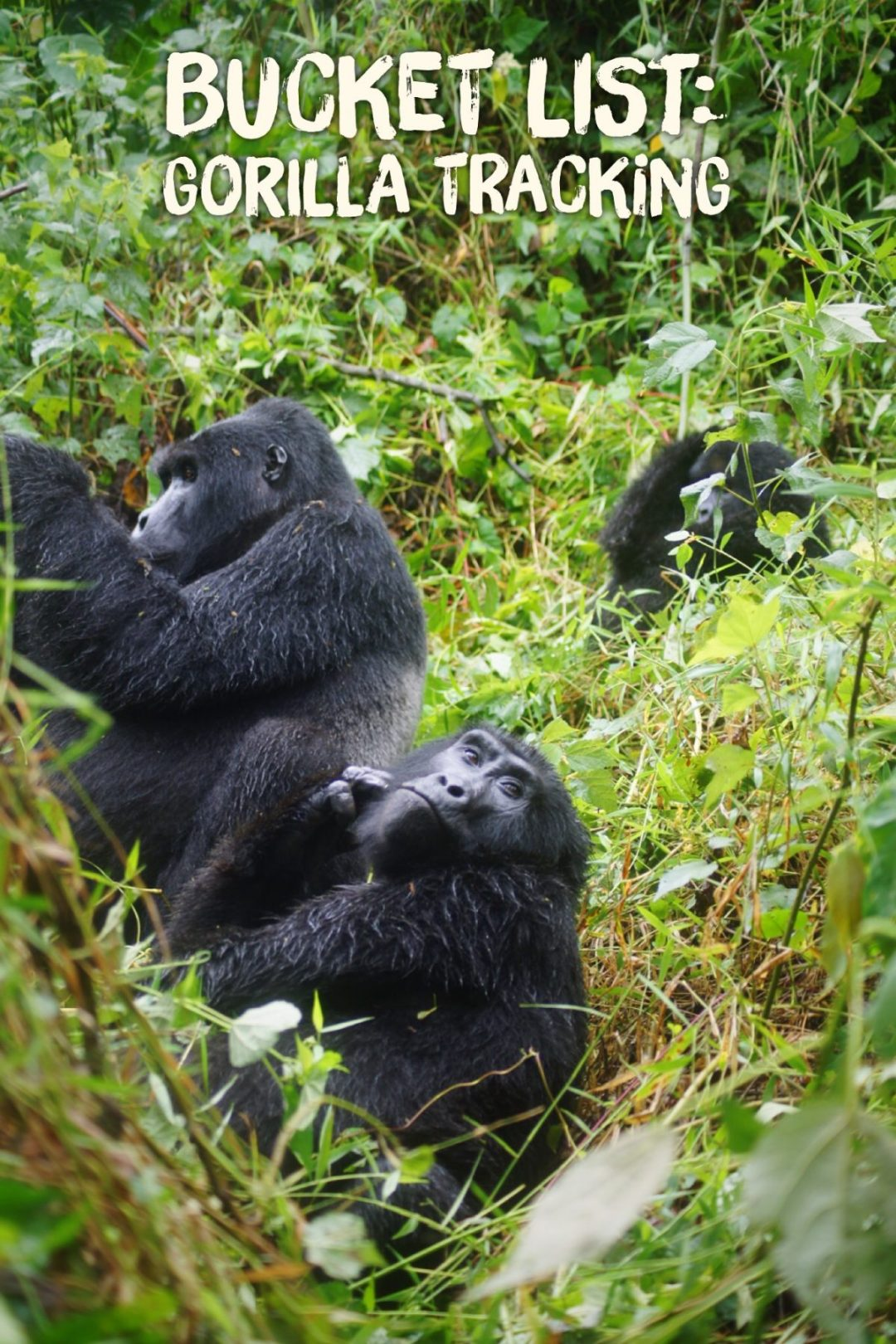 Gorilla tracking Uganda bucket list