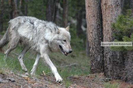 Werewolf Attacks On Humans
