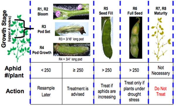 Soybean Aphid Pests Soybean Integrated Pest Management IPM