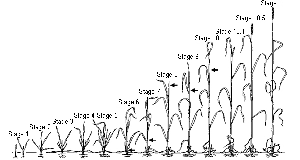 Small Grains Growth Stages Pests Integrated Pest Management