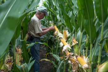 Check now to see if your spray program for western bean cutworm worked.