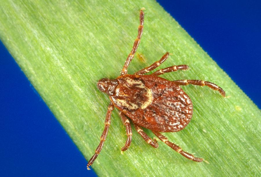Ticks Public Health and Medical Entomology Purdue Biology