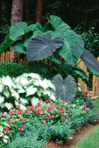 Black Magic will give gardens tropical flair | Mississippi ...