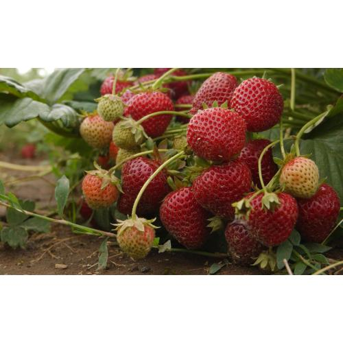 Medium Crop Of Fruit That Starts With E