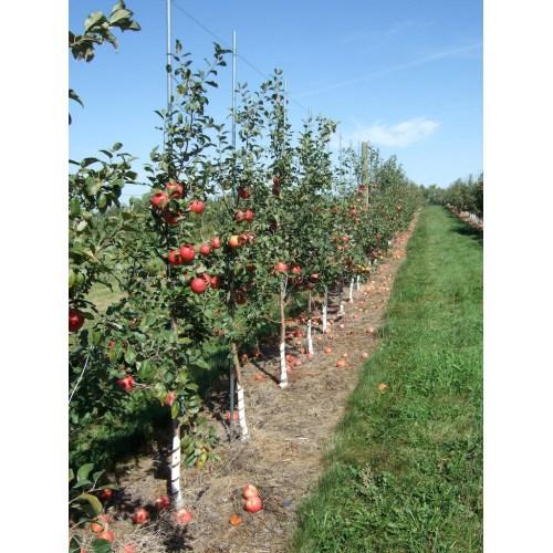 Medium Crop Of Honeycrisp Apple Tree
