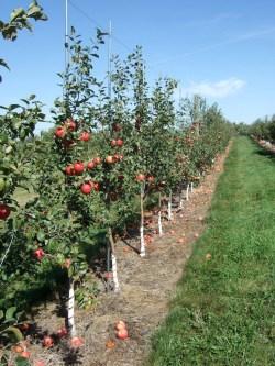 Small Of Honeycrisp Apple Tree