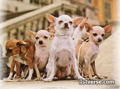 Chihuahuadog