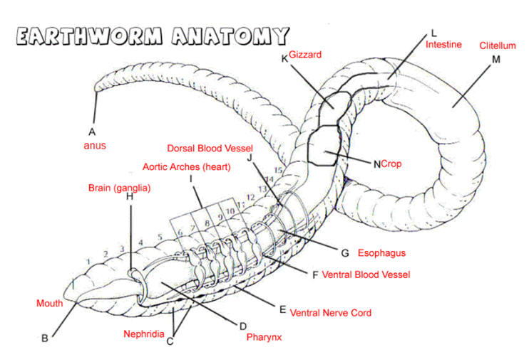 blood vessel diagram labeled