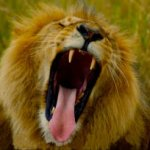 Kariba Couple Attacked by Lion While Having Sex In The Bush