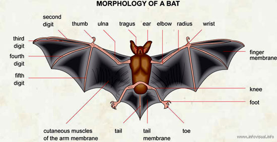 064-Morphology-of-a-batjpg (550×282) Bats Pinterest Bats - bat template
